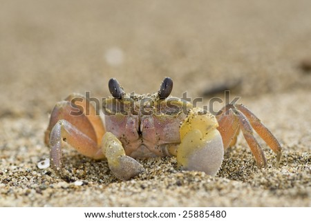 Ghost crab by the seashore - stock photo