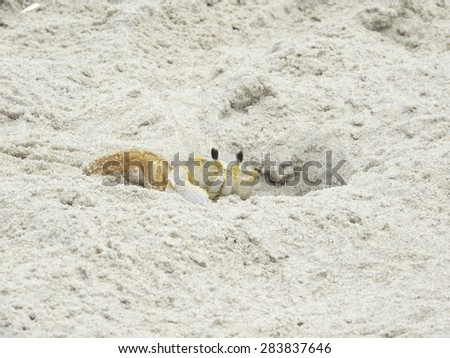 Ghost crab digging out it's home in the morning on Assateague Island in Maryland - stock photo