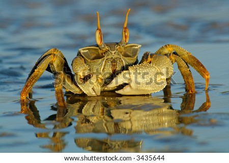 Ghost crab (Ocypode sp.) on the beach, Mozambique, southern Africa - stock photo