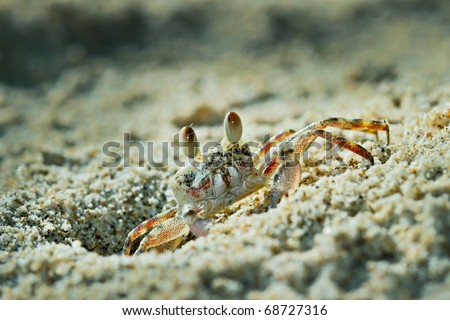 Ghost crabs, also called sand crabs, are crabs of the genus Ocypode, common shore crabs in many countries. Ghost crabs dominate sandy shores in tropical and subtropical areas. - stock photo