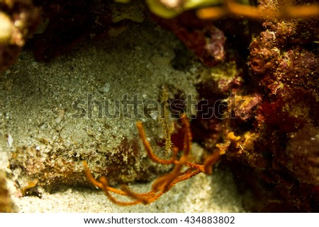 ghost pipe fish - stock photo