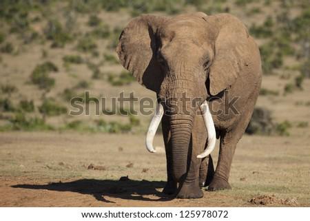 Giant African elephant tusker - stock photo