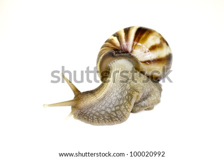 Giant African Land Snail looking to the left ready to race off with isolated background