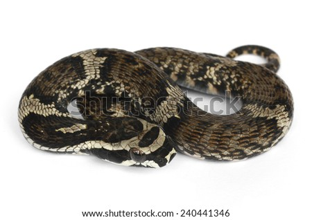 Giant Amazon false viper (Xenodon severus) - stock photo