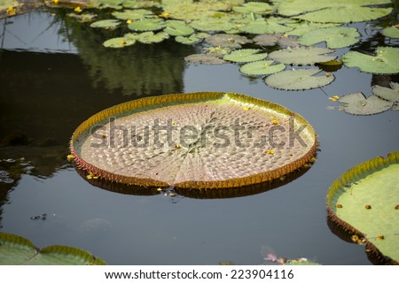 Giant, amazonian lily in water - stock photo