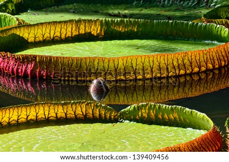 Giant, amazonian lily in water at the Pamplemousess botanical Gardens in Mauritius. Victoria amazonica, Victoria regia - stock photo