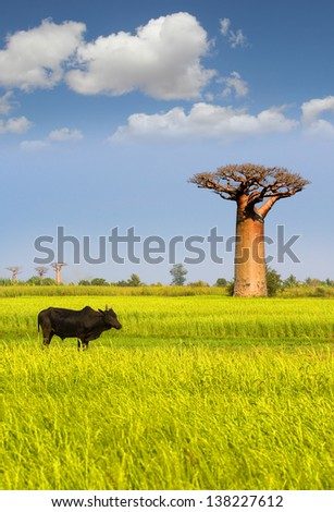 Giant baobab in Madagascar with ox in front - stock photo