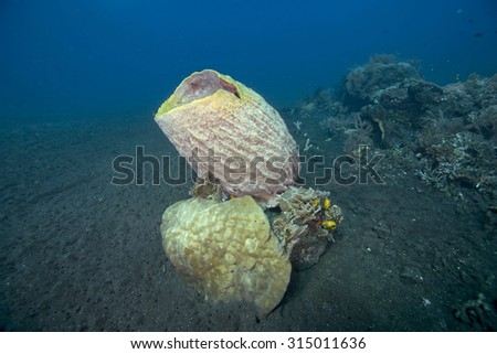 Giant barrel sponge (Xestospongia testudinaria) growing on a wreck with tropical hard and soft corals against clear blue sea background on a black volcanic sand shore at Talumben in Bali in Indonesia