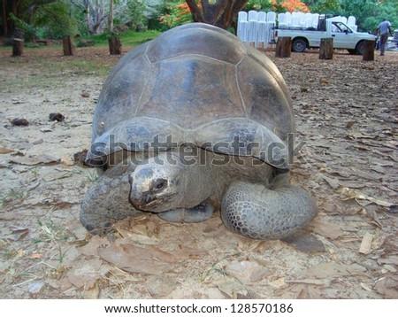 giant big african land turtle Kenya animals wildlife - stock photo