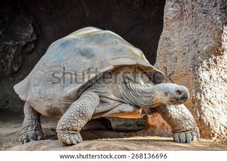 Giant Big Galapgos Earth Tortoise Turtle on the Floor - stock photo