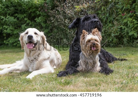 Giant Black Schnauzer, Yorkshire Terrier and Golden Retriever dogs are lying on the lawn. Yorkshire terrier is sitting in front of the Giant Black Schnauzer dog.