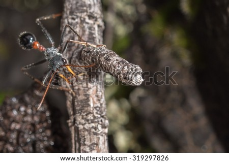 Giant Bulldog Ant Myrmecia brevinoda of Australia kills it's prey by stinging it's victims to death - stock photo