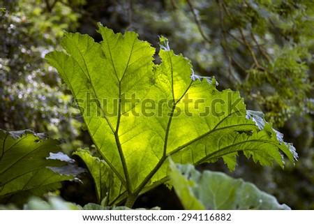Giant Butterbur (Petasites japonicus) - Closeup in the sun. - stock photo