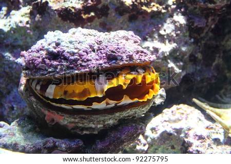 Giant clam - stock photo