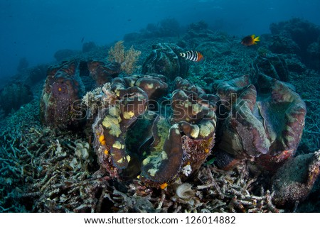 Giant clams (Tridacna gigas), an endangered species, grow on the sea floor in Palau.  These clams have a symbiosis with zooxanthellae, a photosynthetic dinoflagellate. - stock photo