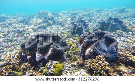 giant clams underwater sea faisua - stock photo