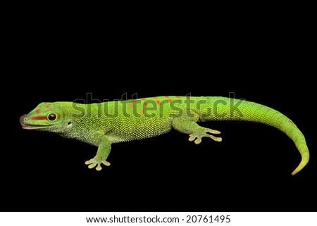 Giant Day Gecko (Phelsuma grandis) on black background. - stock photo