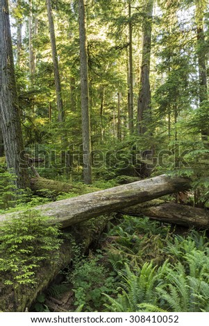 Giant Douglas Fir, red cedar trees and ferns backlit in Cathedral Grove, MacMillan Provincial Park, Vancouver Island, BC - stock photo