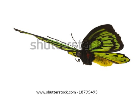 Giant emerald birdwing in flight (O priamus poseidon) from the jungle regions of the Arfak Mountains in Indonesia - stock photo