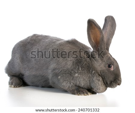 giant flemish bunny on white background - stock photo