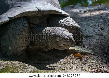 giant galapagos tortoise - stock photo
