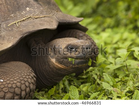 Giant galapagos tortoise (geochelone elephantopus) chewing on some grass. This endangered species is endemic to the Galapagos Islands. - stock photo