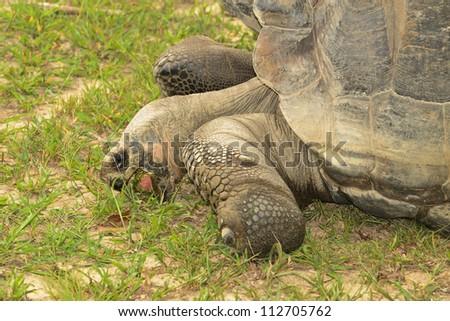 Giant Galapagos Turtle eating grass. - stock photo