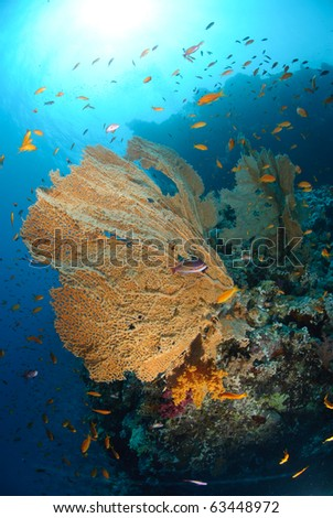 Giant georgonian fan coral (Annella mollis), with school of anthias. Red Sea, Egypt.