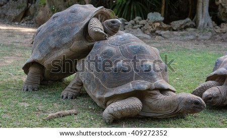 Giant grey tortoise mating on Rodrigues island - stock photo