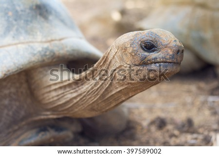 Giant grey tortoise standing on Mauritius island