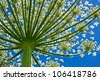 Giant inflorescence of Hogweed plant against blue sky. View from below. Latin name: heracleum sphondylium - stock photo
