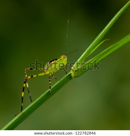 Giant Katydid (Stilpnochlora Couloniana) going up - stock photo