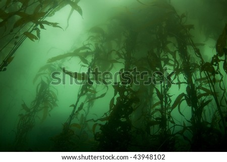 Giant Kelp Forest (Macrocystis pyrifera) underwater off California