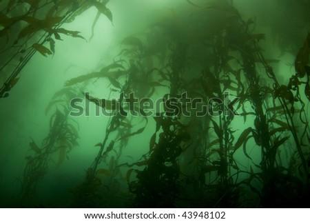 Giant Kelp Forest (Macrocystis pyrifera) underwater off California - stock photo