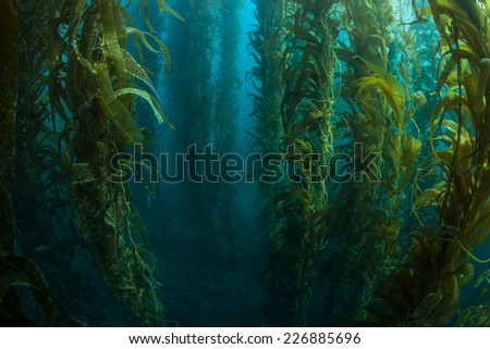 Giant kelp grows in a thick underwater forest near the Channel Islands in California. Kelp provides an important habitat for many fish and invertebrates and can grow quickly in the right conditions. - stock photo