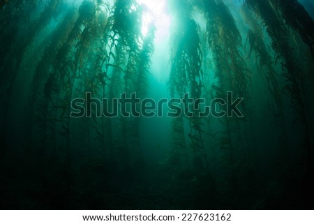 Giant kelp grows in an underwater forest near the Channel Islands in California. Kelp provides an important habitat for many fish and invertebrates and can grow quickly in the right conditions. - stock photo
