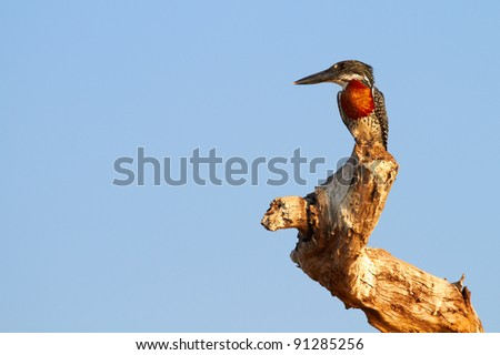 Giant Kingfisher male (Megaceryle maximus) with its copper or chestnut coloured chest on the banks of the Chobe River in Botswana watching for prey. Predominantly found in Sub Saharan Africa