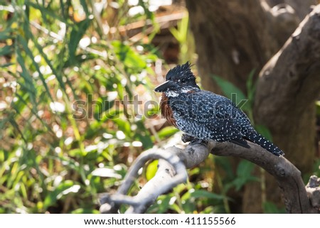 Giant Kingfisher (Megaceryle maxima) perched on branch next to river, Namibia, 2015 - stock photo