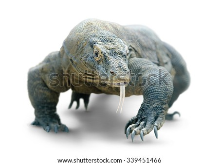 Giant lizard (comodo dragon) walks looking dangerously at camera, isolated on white background with clipping path - stock photo