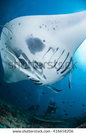 Giant Manta Ray approaching a cleaner station in clear blue water. - stock photo