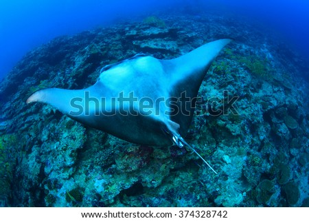 Giant manta ray floating underwater in the tropical ocean  - stock photo