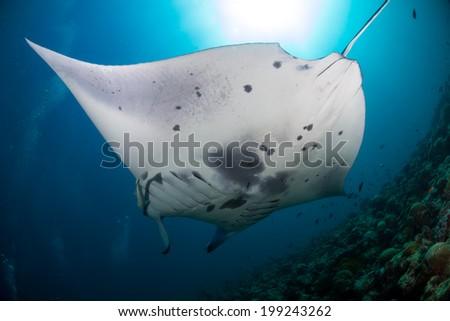 Giant manta ray swimming by - stock photo