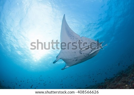 Giant manta ray with a shark bite in its fin approaching a cleaning station in clear blue water. - stock photo