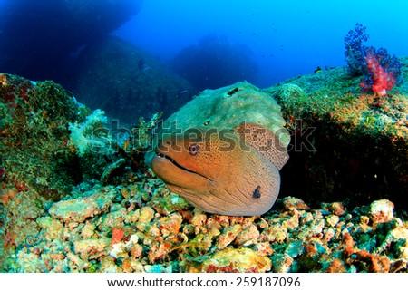 Giant Moray Eel - stock photo