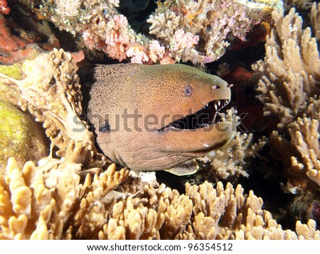 Giant Moray Eel (Muraenidae) coming out of the coral reef, underwater in Indo-Pacific Ocean, Indonesia. - stock photo