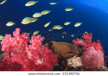 Giant Moray Eel on coral reef with tropical fish - stock photo