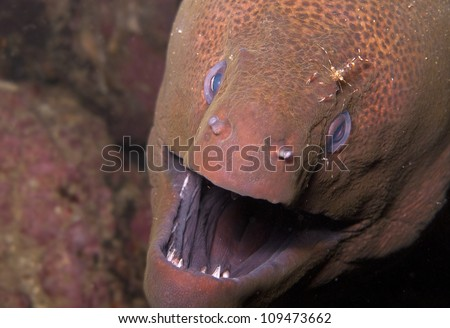 Giant moray eel with shrimp - stock photo