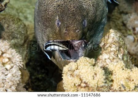 Giant moray (gymnothorax javanicus) and a cleaner mimic (aspidontus taeniatus) - stock photo