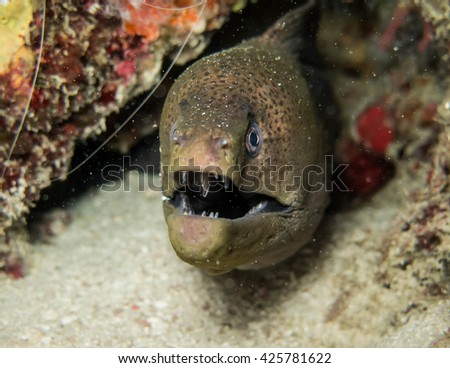 giant moray in Andaman sea