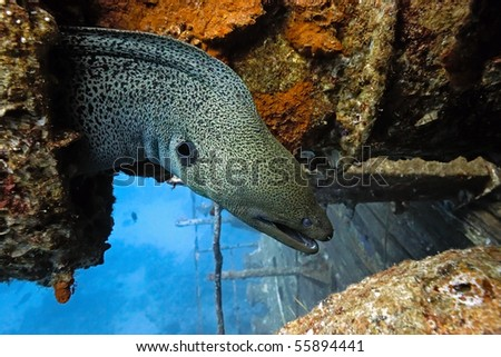 Giant moray on the wreck - stock photo